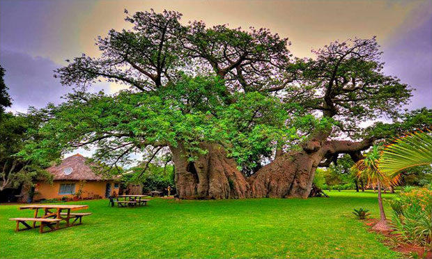 Sunland baobab un rbol con un bar en su interior for Arbol interior